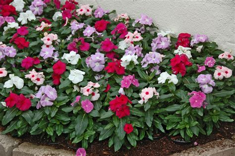 vinca flower colors dr dan s garden tips vincas