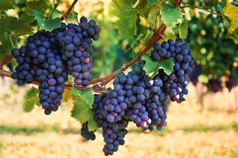 fruit 08 grape health benefits of merlot wine archives vine vera