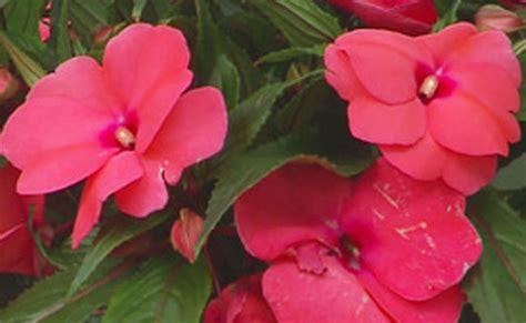 Nuova Guinea Fiore Sole by Nuova Guinea Cifo
