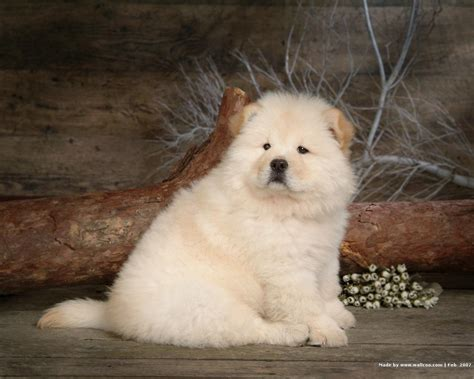 chow pictures chow chow puppy wallpaper puppies wallpaper 13936811 fanpop