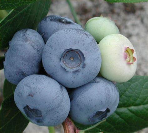 Bibit Blueberry blueberries penanaman dan penjagaan meteogelo