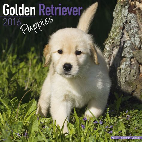 golden retriever puppies price range golden retriever puppies calendar 2016 pet prints inc