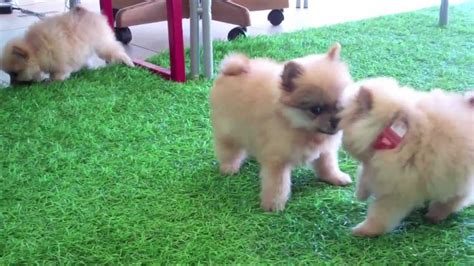 teacup pomeranian puppies for sale in california teacup pomeranian puppies for sale in san diego ca