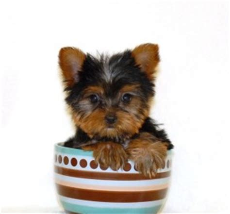 facts about yorkie worlds smallest teacup breeds picture