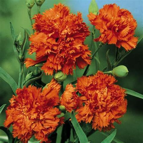 Dianthus Chabaud Orange dianthus seeds 13 varieties swallowtail garden seeds