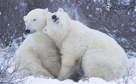 wallpaper couple bear eisb 228 ren