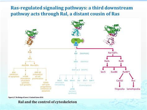 Cytoplasmic Signaling Circuitry Programs Many of the ... G Protein Coupled Receptors Pathway