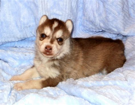 brown husky puppies puppy dogs brown siberian husky puppies