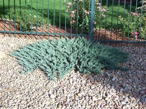 blue rug juniper spacing denver landscape plants spreading juniper