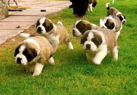san bernardo imagenes de perros san bernardo cachorros tiernos imagenes de perros
