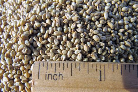 Millet For The And pearl millet seed molokai seed company