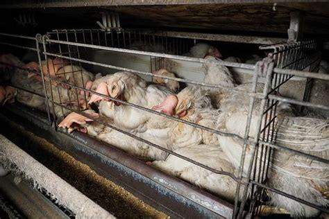 gabbia galline maina ferrero e conad hanno detto stop alle gabbie per le