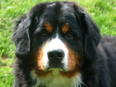 rocky mountain puppies rocky creek s cheese quot colby quot rocky creek bernese mountain dogs