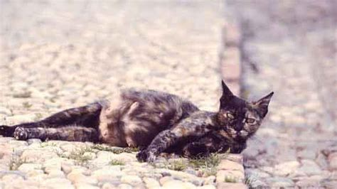 cat pregnancy how to tell if your cat cat symptoms petcarerx