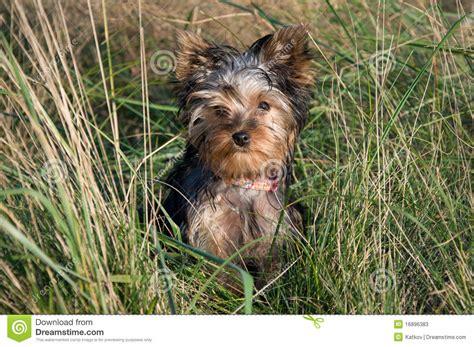 yorkie grass yorkie in grass stock photos image 16896383