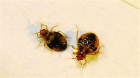 can you get bed bugs from laundromat can you get bed bugs from laundromat 28 images can you