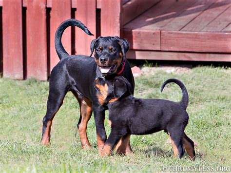 rottweiler with american rottweiler with www pixshark images galleries with a bite