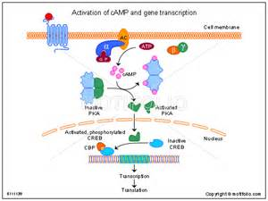 activation of camp and gene transcription ppt powerpoint