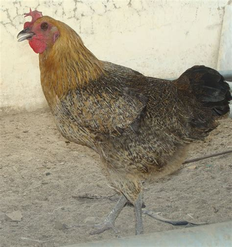 backyard chickens breeds want to my chicken breeds backyard chickens