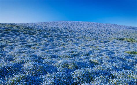 Baby Japan Blue 4 million blue flowers bloomed at a japanese park
