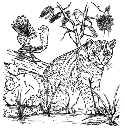 Tpwd Kids Color The Ocelot Ocelot Coloring Page