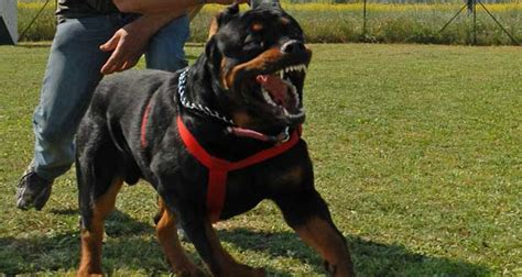 rottweiler obedience classes rottweiler dogmal