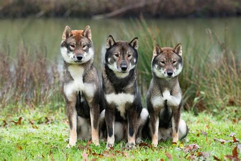shikoku puppies for sale shikoku kennels de egmato