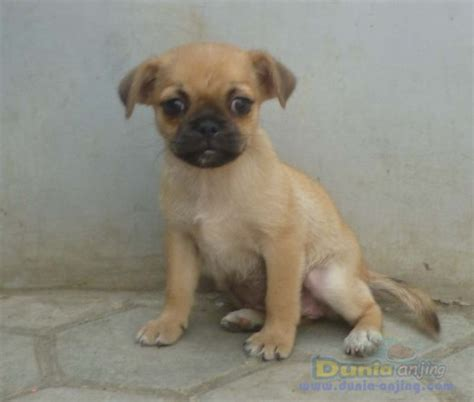 pug maltese mix for sale dunia anjing jual anjing lainnya mix breed for sale puppies mix pug 2bln