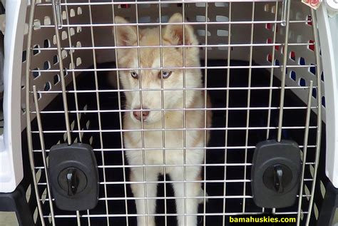 crate your simple steps to crate your husky puppy 171 siberian husky puppies for sale
