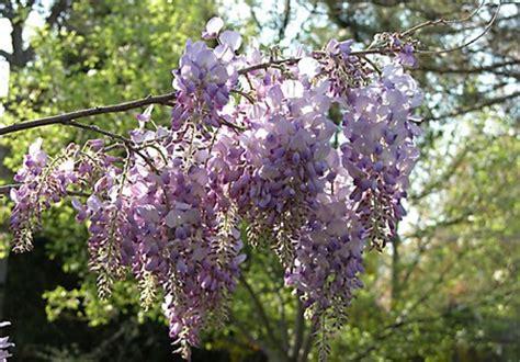 foto glicine in fiore glicine il fiore dell amicizia pollicegreen