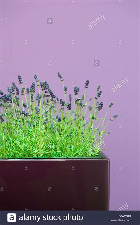 lila wand lavendel vor lila wand lavender in front of a purple wall