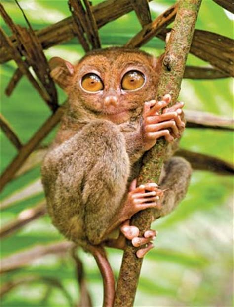Telolet Bulat tarsier description species habitat facts