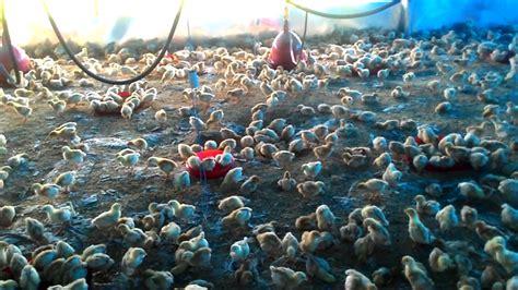 Bibit Ayam Petelur Medium bibit pullet ayam petelur ras 2