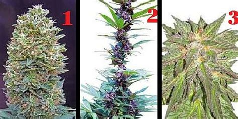 May Top 3 top 3 best selling cannabis seeds may of 2016