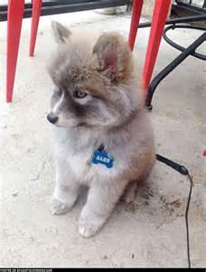 Husky pomeranian mix dog puppies pinterest