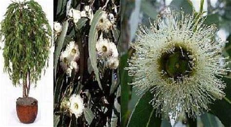 Eukalyptus Pflanze Kaufen 97 by Pfefferminz Eukalyptus Samen Mehrj 228 Hrige Bl 252 Hende
