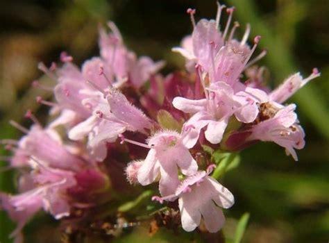 bibit benih marjoram sweet jual tanaman hias