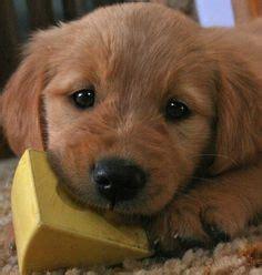 comfort retriever puppies for sale miniature golden retriever puppies for sale goldenquest comfort retriever the world