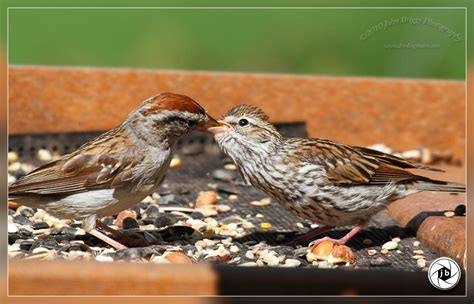 chipping sparrow feeding young birding in maine