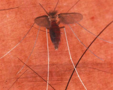 sand fliese a sand fly lutzomyia shannoni dyar