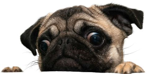 pug png how creepy are you
