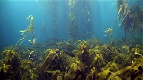 Kelp Bed by Tasmania S Disappearing Kelp Forests