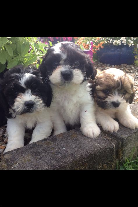 bichon x shih tzu for sale bichon frise mix shih tzu puppy for sale breeds picture