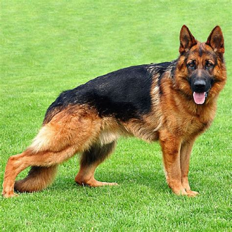 guard breeds german shepherd11 top 10 best guard breeds bed mattress sale