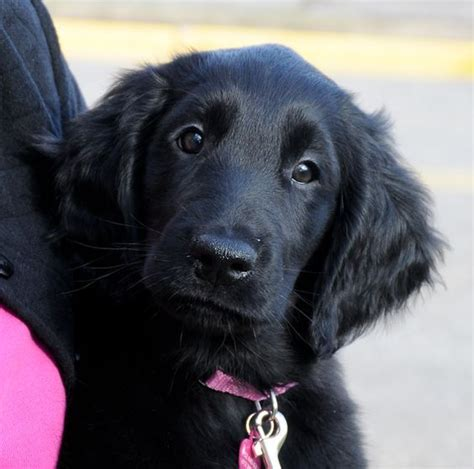 golden flat coated retriever puppies best 20 flat coated retriever ideas on black golden retriever adorable