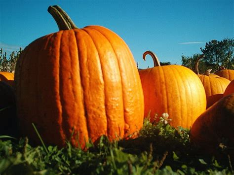 pumpkin of here s how you grow the world s pumpkins the