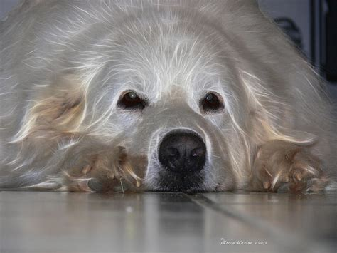 great pyrenees puppies price great pyrenees puppies prices breeds picture