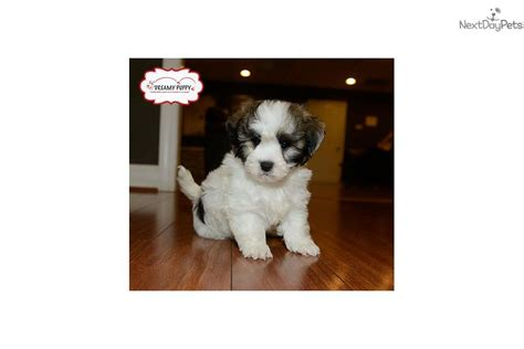 havanese breed profile havanese information havanese breed guide havaneses havanese puppies breeds picture