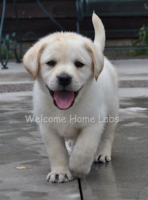 golden lab puppies for sale near me 2017 delightful yellow labrador retriever puppies for sale puppies for sale near me
