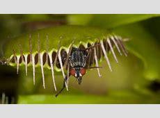 Venusfliegenfalle: Pflege der fleischfressenden Pflanze Freemail